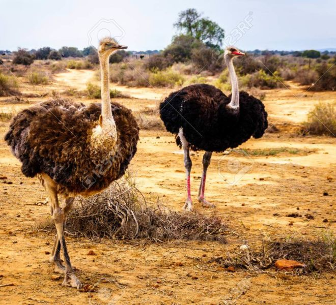 99050543-female-ostrich-and-male-ostrich-at-an-ostrich-farm-in-oudtshoorn-in-the-semi-desert-little-karoo-reg